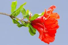 Δονούμενα κόκκινα λουλούδια ανθών άνοιξη ροδιών Στοκ Εικόνα