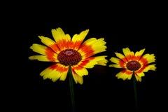 Δονούμενα λουλούδια ζευγαριού ή gazania στο σκοτεινό κλίμα στοκ φωτογραφία με δικαίωμα ελεύθερης χρήσης