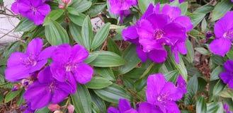 Δονούμενα πορφυρά λουλούδια Στοκ Εικόνες