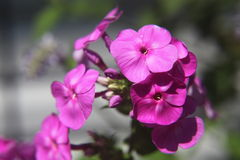 Δονούμενα ρόδινα λουλούδια Στοκ Φωτογραφία
