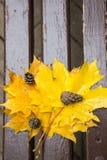 Δονούμενα υγρά χρυσά πεσμένα φύλλα σφενδάμνου και τριών κώνων πεύκων σε ένα καφετί ξύλο brench στο πάρκο φθινοπώρου, πυροβολισμός Στοκ φωτογραφία με δικαίωμα ελεύθερης χρήσης