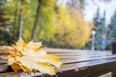Δονούμενα υγρά χρυσά πεσμένα φύλλα του σφενδάμνου με τα waterdrops σε ένα καφετί ξύλο brench στο πάρκο φθινοπώρου Κιτρινοπράσινα  Στοκ Εικόνες