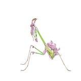 Δονούμενα χρωματισμένα τροπικά mantis εντόμων αρπακτικών πτηνών στοκ εικόνα