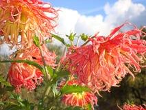 Δονούμενες θαυμάσιες ντάλιες του χρώματος καρότων στοκ εικόνα