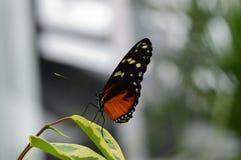 Δονούμενη πεταλούδα Στοκ εικόνα με δικαίωμα ελεύθερης χρήσης