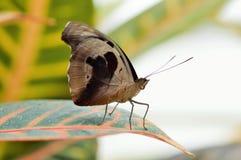 Δονούμενη πεταλούδα Στοκ Εικόνα