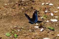 Δονούμενη πεταλούδα Στοκ φωτογραφίες με δικαίωμα ελεύθερης χρήσης