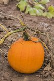 Δονούμενη πορτοκαλιά ανάπτυξη κολοκύθας στον τομέα, που στρίβει το μίσχο και την άμπελο Στοκ φωτογραφία με δικαίωμα ελεύθερης χρήσης