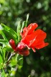 Δονούμενοι κόκκινοι λουλούδι και οφθαλμοί φωτός του ήλιου ροδιών στοκ φωτογραφία με δικαίωμα ελεύθερης χρήσης