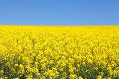 Δονούμενος κίτρινος τομέας συναπόσπορων κάτω από έναν σαφή ηλιόλουστο μπλε ουρανό στοκ εικόνα