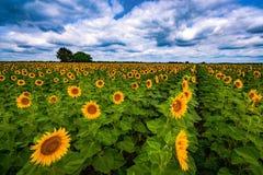 Δονούμενος τομέας ηλίανθων το καλοκαίρι στοκ εικόνες με δικαίωμα ελεύθερης χρήσης