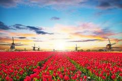 Δονούμενος τομέας τουλιπών με τον ολλανδικό ανεμόμυλο στοκ εικόνες