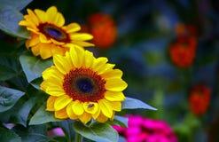 Δονούμενο ζευγάρι των ηλίανθων κάτω από τον ήλιο στοκ εικόνες με δικαίωμα ελεύθερης χρήσης