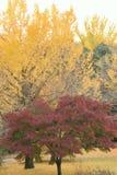 Δονούμενο ιαπωνικό φθινόπωρο Ginkgo & τοπίο φύλλων σφενδάμου με το θολωμένο υπόβαθρο Στοκ εικόνες με δικαίωμα ελεύθερης χρήσης