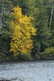 Δονούμενο κίτρινο φύλλωμα στις όχθεις του ποταμού Androscoggin, νέο Hampsh Στοκ φωτογραφίες με δικαίωμα ελεύθερης χρήσης