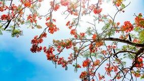 Δονούμενο κόκκινο λουλούδι του δέντρου φλογών στοκ φωτογραφία