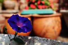 Δονούμενο μπλε λουλούδι για τους εραστές φύσης στοκ εικόνες