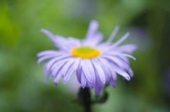 Δονούμενο πορφυρό λουλούδι μαργαριτών σε ένα πράσινο θολωμένο υπόβαθρο Λουλούδι άνοιξης και καλοκαιριού Στοκ Εικόνες