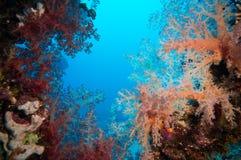Δονούμενο ρόδινο μαλακό κοράλλι (hemprichi Dendronephthya) Στοκ Εικόνα