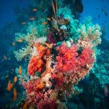 Δονούμενο ρόδινο μαλακό κοράλλι (hemprichi Dendronephthya) Στοκ εικόνα με δικαίωμα ελεύθερης χρήσης