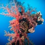 Δονούμενο ρόδινο μαλακό κοράλλι (hemprichi Dendronephthya) Στοκ Φωτογραφία