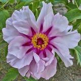 Δονούμενο ρόδινο peony λουλούδι Στοκ Εικόνα