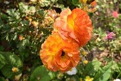 Δονούμενο χρωματισμένο πορτοκάλι λουλούδι Στοκ εικόνες με δικαίωμα ελεύθερης χρήσης