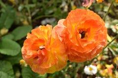 Δονούμενο χρωματισμένο πορτοκάλι λουλούδι Στοκ Εικόνες