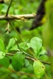 Δορά αντιμέτωπο Grasshopper ραπίσματος †« Στοκ φωτογραφία με δικαίωμα ελεύθερης χρήσης
