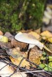 Δορές ενός οι άγριες δασικές μανιταριού στη χλόη και τα φύλλα κλείνουν στοκ εικόνα με δικαίωμα ελεύθερης χρήσης