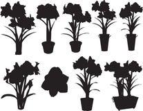 δοχεία amaryllis στοκ εικόνα με δικαίωμα ελεύθερης χρήσης