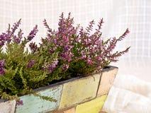 δοχείο ερεικών λουλο&ups Στοκ εικόνα με δικαίωμα ελεύθερης χρήσης