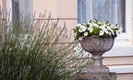 Δοχείο λουλουδιών πετουνιών Στοκ Φωτογραφία