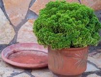Δοχείο με το πράσινο λουλούδι Στοκ Εικόνες