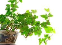 δοχείο πράσινων φυτών Στοκ φωτογραφίες με δικαίωμα ελεύθερης χρήσης