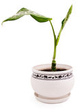 δοχείο πράσινων φυτών diffenbachia Στοκ εικόνες με δικαίωμα ελεύθερης χρήσης