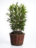 δοχείο φυτών δαφνών Στοκ εικόνα με δικαίωμα ελεύθερης χρήσης