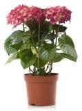 δοχείο hortensia λουλουδιών λ Στοκ φωτογραφία με δικαίωμα ελεύθερης χρήσης