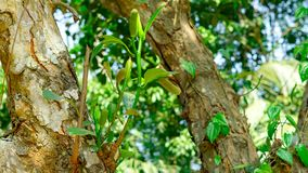 Δοχείο Jackfruit στο δέντρο jackfruit Στοκ Εικόνες