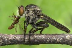 Δολοφόνος εντόμων που τρώει το κόκκινο μυρμήγκι Στοκ Εικόνες