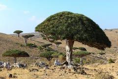 Δράκος-δέντρο Στοκ φωτογραφίες με δικαίωμα ελεύθερης χρήσης