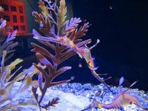 Δράκος ενυδρείων seahorse Στοκ φωτογραφίες με δικαίωμα ελεύθερης χρήσης