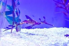 Δράκος θάλασσας στους μπλε τόνους, παρόμοιους με ένα seahorse στοκ εικόνες με δικαίωμα ελεύθερης χρήσης