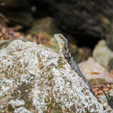 Δράκος νερού που στηρίζεται σε έναν βράχο Στοκ Φωτογραφία