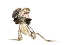 Δράκος Frilled - kingii Chlamydosaurus στοκ εικόνα με δικαίωμα ελεύθερης χρήσης