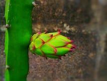 Δράκος fruit στοκ εικόνες