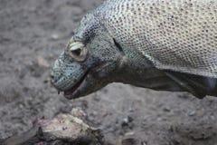 Δράκος Komodo - κλείστε επάνω να φάει το κρέας και να καταπιεί το σύνολο Στοκ φωτογραφίες με δικαίωμα ελεύθερης χρήσης