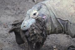 Δράκος Komodo - κλείστε επάνω να φάει το κρέας και να καταπιεί το σύνολο Στοκ Εικόνα