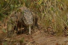 Δράκος Komodo που φρουρεί τη φωλιά κοντά στο φωτογράφο στοκ φωτογραφία με δικαίωμα ελεύθερης χρήσης