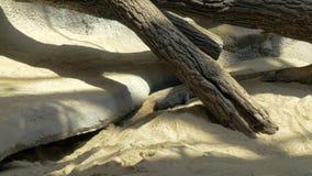 Δράκος Komodo στο ζωολογικό κήπο απόθεμα βίντεο